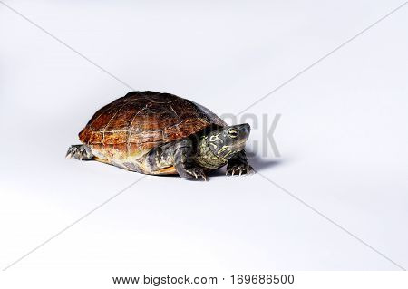 Small semi-aquatic Reeves turtle. Also known as a Chinese Pond Turtle.