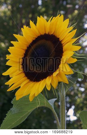 A beautiful Sunflower reaches high into the sky for its daily nourishment of the providing sunshine.