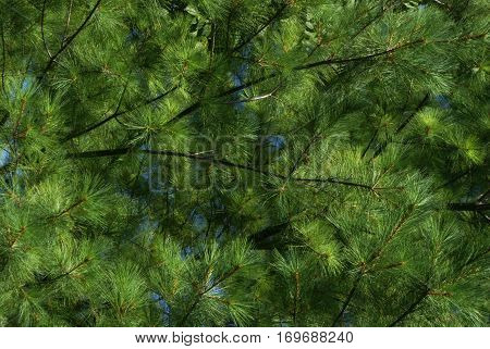 A closeup view of some evergreen pine needles showing the details in a full frame view.