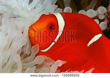 Spine Cheek clown fish in shallow water, Solomon Islands