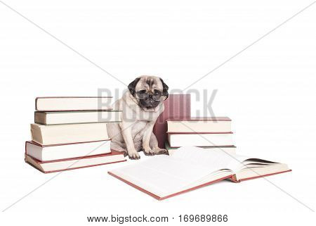 adorable pug puppy dog lying down and reading a book, looking erudite with glasses around neck, isolated on white background