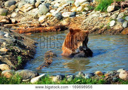 Bear Consumes Fish