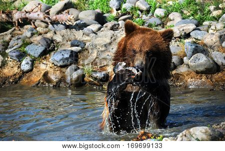 Bear In Action Catching Fish