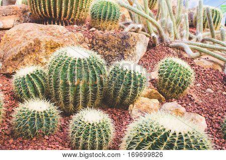 Group Of Golden Barrel Cactus In Desert