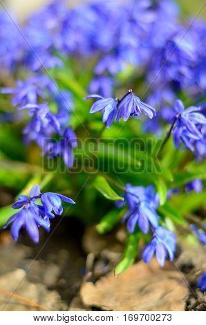 Scilla Siberian Blue spring flower. First spring wild flowers.