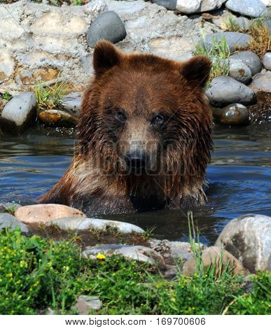 Closeup of a grizzly bear sitting submerged in a pool of water. His fur is wet and he is looking at the camera.