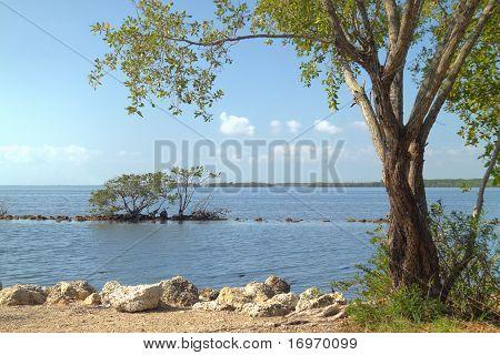 Buttonwood Biscayne National Park