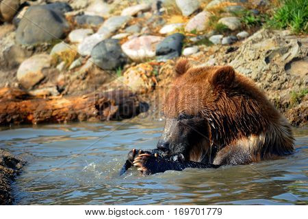 Young grizzly bear holds a fish in its paws and eats it while sitting in a pool of water.