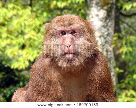 Portrait Of Wild Tibetan Macaque (macaca Thibetana) In Emei Mountains, Sichuan Province, China