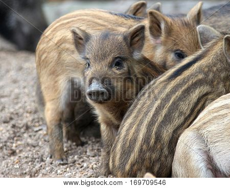 close-up wild piglets resting on the ground