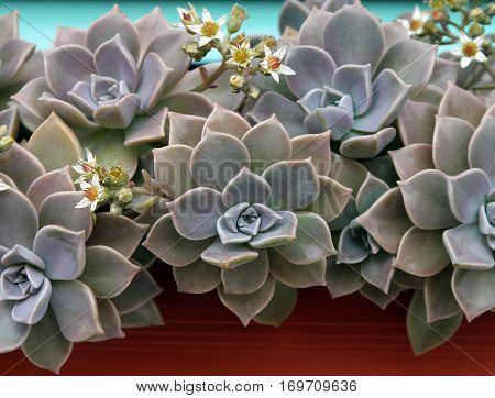 Sempervivum or green houseleek flowers background v