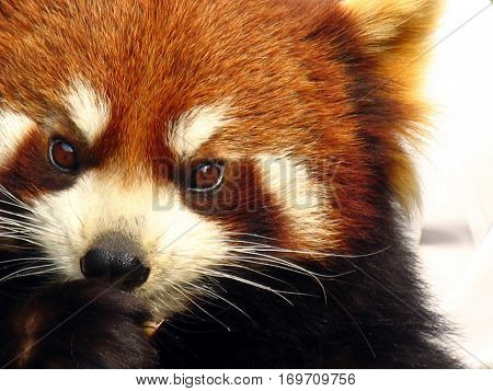 Portrait Of A Red Panda (ailurus Fulgens)