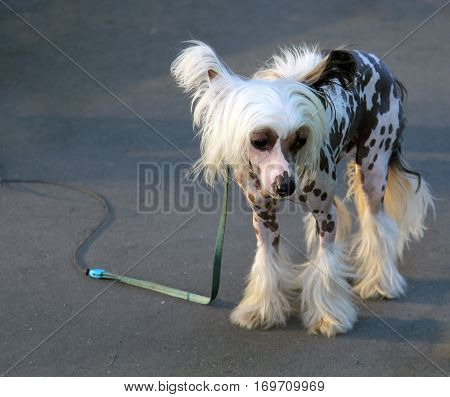 Sad white Chinese Crested Dog outdoor b