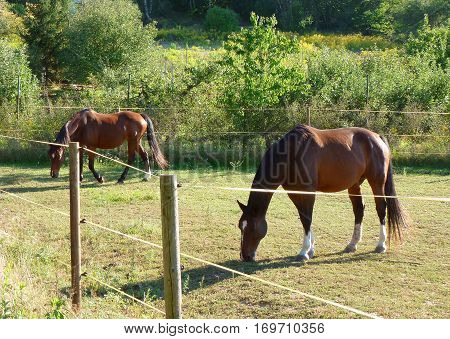 Photo of two brown horses grazing next to an electric fence