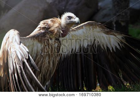 Himalayan Vulture (gyps Himalayensis) Drying Wings After Bathing