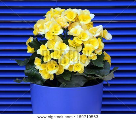 Yellow Blooming Begonia On A Background Of Blue Shutters