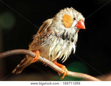Male Zebra finch (Taeniopygia guttata) drying feathers after rain