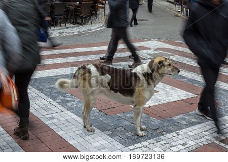 Istanbul stray dog standing in the middle of a pedestrian crossroad people ignoring him