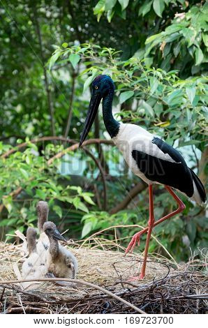 black-necked stork or ephippiorhynchus asiaticus bird and offspring in nest against lush forest habitat