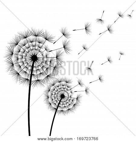 Two beautiful stylized black flowers dandelions and flying fluff on white background. Floral stylish modern summer or spring wallpaper. Trendy nature backdrop. Vector illustration