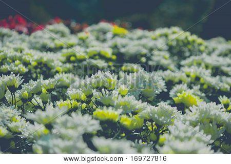 Chrysanthemum flower in Queen Sirigit garden morning time look beautiful