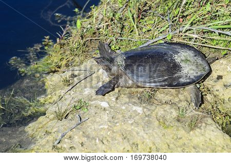 Florida softshell turtle at edge of marsh along Anhinga Trail