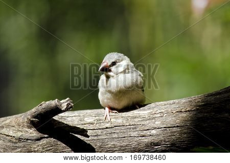 the young Java sparrow is perched on a tree branch