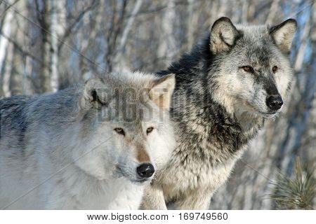 Close-up of alpha male and alpha female wolves