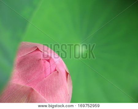 Thai style colorful waterlilly lotus in nature