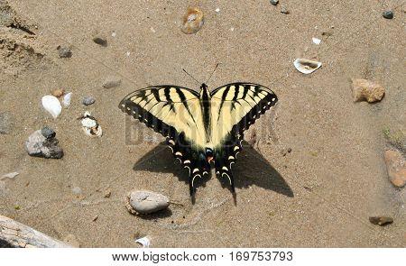 Yellow Swallowtail Butterfly on a sandy beach