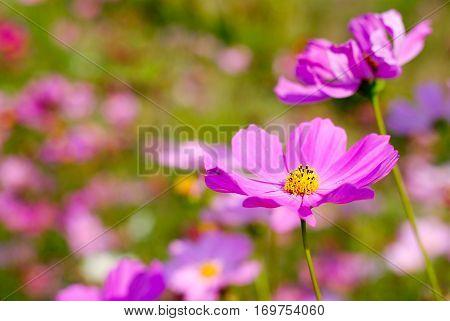 Cosmos flower fields  full bloom in the garden.