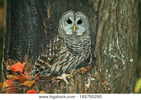 Barred Owl sitting in the hollow of a tree