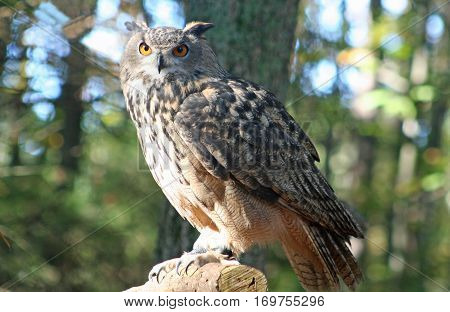 The Eurasian Eagle Owl, the largest owl in the world