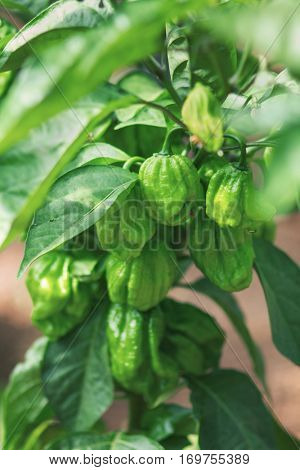 Organic pepper plant
