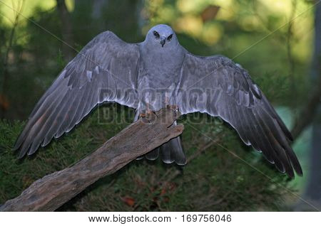 Mississippi Kite with its wings spread out
