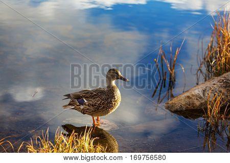 Amazing mallard duck on mountains lake