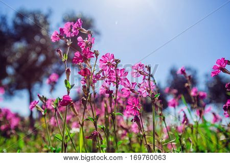 Fields of pink flowers in the sun.Natural blurred background.