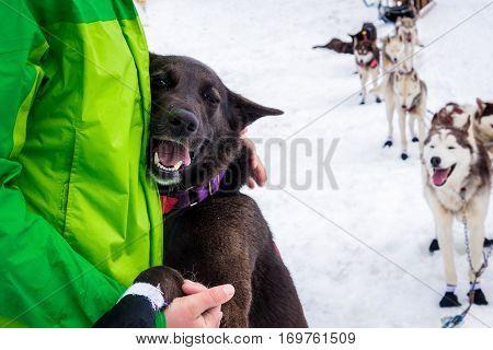 Dark brown sled dog named Ina hugging its human handler