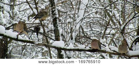 flock of mourning doves perched on tree branches in a winter snowstorm