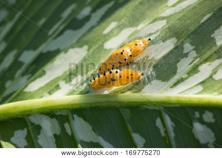 Two Pupa Animal On Green Leaf Tree