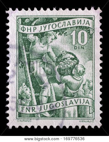 ZAGREB, CROATIA - SEPTEMBER 13: A stamp printed in Yugoslavia shows fruit rowing, domestic economy series, stamp for surcharges, circa 1952, on September 13, 2014