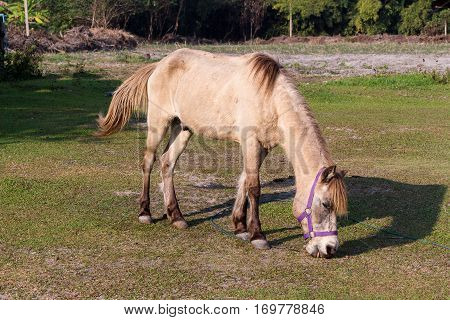 The brown horses eating gress in the field