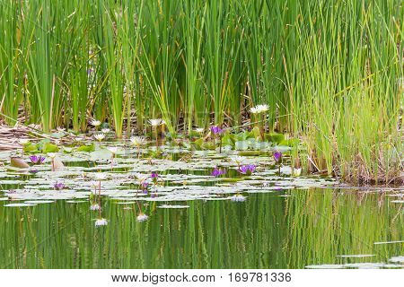Wild Pond With Waterlily Flowers