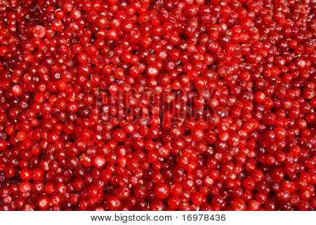 Fresh cowberry, foxberry background