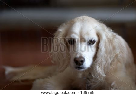Cocker Spaniel With Sad Look