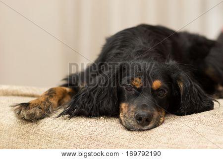 Black Spaniel lying on the sofa legs dangling