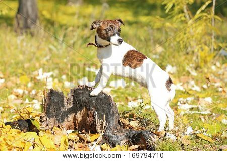 Funny Jack Russell terrier in beautiful autumn park on sunny day