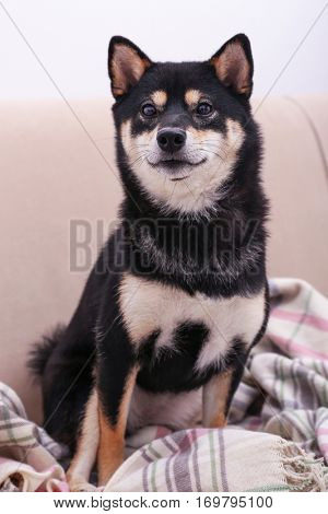 Cute little Shiba Inu dog sitting on couch at home