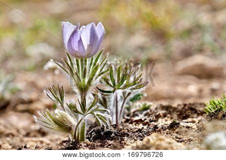 Alpine blue Anemones in Rocky Mountains. Pasque Flower or Pulsatilla found on Cottonwood Pass near Buena Vista and Denver Colorado USA.