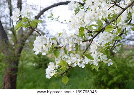 Branch	of the flowering pear in the garden